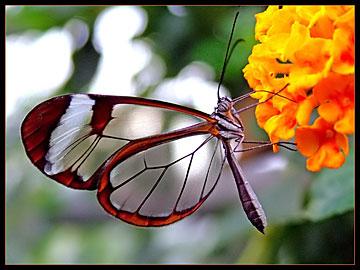 doorkijkvlindertje